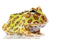żaba uzbrajać w rogi Fotografia Stock