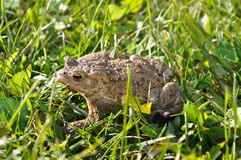 Żaba w trawy żabie Obraz Royalty Free