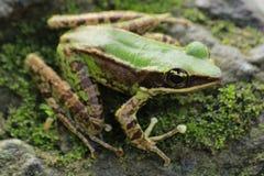 Żaby bangkong pod zielonym kumakiem w tropikalnych lasach Indonezja obrazy royalty free