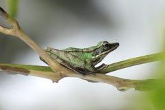 Żaby bangkong pod zielonym kumakiem w tropikalnych lasach Indonezja zdjęcia royalty free