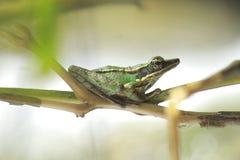 Żaby bangkong pod zielonym kumakiem w tropikalnych lasach Indonezja fotografia royalty free