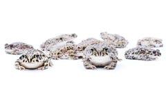 żaby biały Obraz Royalty Free