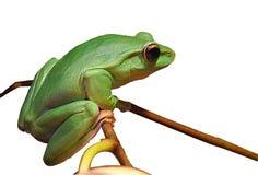 żaby drzewo ilustracja wektor
