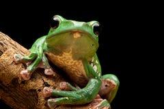 żaby drzewo obrazy stock