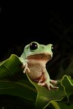 żaby drzewo Fotografia Royalty Free