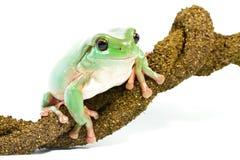 żaby drzewo zielony uśmiechnięty Obrazy Royalty Free