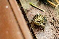 żaby duży zieleń fotografia stock