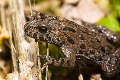 żaby gałązka Obraz Stock