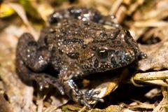 żaby gałązka Zdjęcia Royalty Free