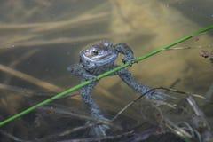 żaby gimnastyczka obraz royalty free