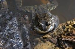 żaby ikra Obrazy Royalty Free