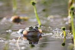 żaby jadalny pelophylax Obrazy Royalty Free