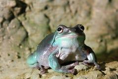żaby kolorowa zieleń Fotografia Royalty Free