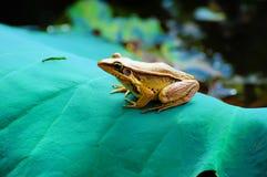 żaby liść lotos Zdjęcia Stock