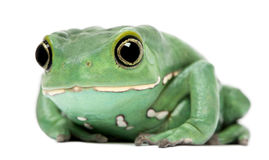 żaby liść małpy phyllomedusa sauvagii woskowaty Fotografia Royalty Free
