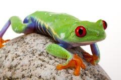 żaby n skała zdjęcie royalty free