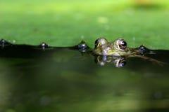 żaby oczy obraz royalty free