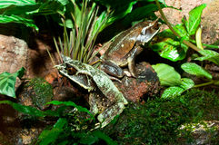 żaby uzbrajać w rogi malayan obraz royalty free
