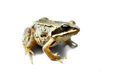żaby zieleń Obrazy Royalty Free