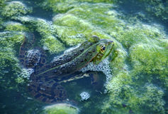 żaby zieleń Zdjęcia Royalty Free