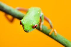 żaby zieleń Fotografia Royalty Free