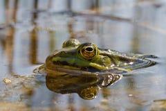 żaby zieleń Obraz Stock