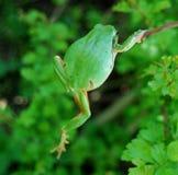żaby zieleń Zdjęcia Stock