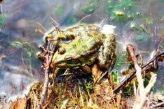 żaby zieleni płycizny obsiadania woda Zdjęcie Royalty Free