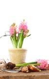 żarówek hiacyntu menchii rośliny Obraz Royalty Free