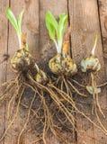 Żarówki Lilium candidum na drewnianym tle przed zasadzać fotografia stock