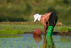 żeńscy koreańscy plantatorscy ryż Obrazy Royalty Free