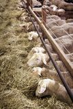 Żeńscy sheeps w sheepfold zdjęcie stock