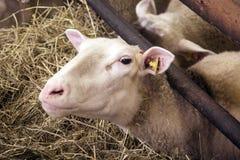 Żeńscy sheeps w sheepfold fotografia stock