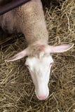 Żeńscy sheeps w sheepfold obrazy royalty free