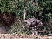 Żeńscy strusi Struthio camelus stojaki na słonecznym dniu wśród zielonych krzaków na słonecznym dniu Fotografia Royalty Free