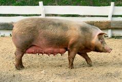 żeńska świnia Zdjęcie Royalty Free