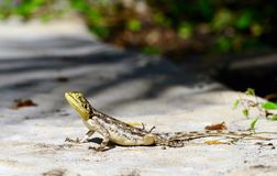 Żeńska Agama jaszczurka Zdjęcia Royalty Free