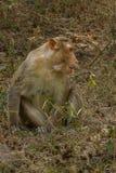 Żeńska czapeczka makaka małpa fotografia royalty free