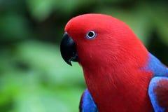 Żeńska eclectus papuga Zdjęcia Stock