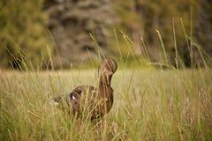 Żeńska kaczka obrazy stock