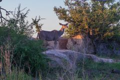 Żeńska kudu antylopy pozycja Fotografia Royalty Free