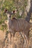 Żeńska młoda kudu krowa w dzikim Afrykańskim krzaku obraz royalty free