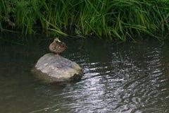Żeńska Mallard kaczka odpoczywa na skale w rzece z wodnymi płochami w tle zdjęcia royalty free