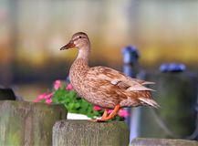 Żeńska Mallard kaczka wącha kwiaty fotografia royalty free