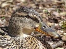 Żeńska Mallard kaczki głowa zdjęcie stock