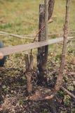 Żeńska ogrodniczka ciie rękę w ogródzie w ogrodowych potomstwach, żyzny drzewo dla oczkowania żyzny owocowy drzewo fotografia royalty free