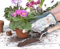Żeńska ogrodniczka puszkuje wiosna kwiaty obrazy royalty free