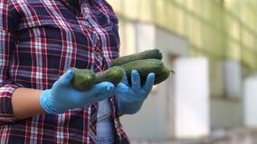 Żeńska ogrodniczka w błękitnych rękawiczkach trzyma świeżych ogórki w szklarni zbiory