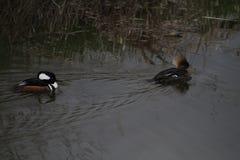 Żeńska para kapturzaste nurogęsi pływa w strumieniu i samiec Zdjęcia Stock