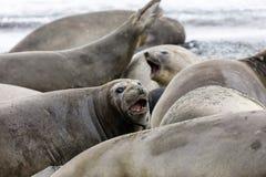 Żeńska Południowa słoń foka w jej koloni na Fortuna zatoce, Południowy Gruzja, Antarctica obrazy royalty free